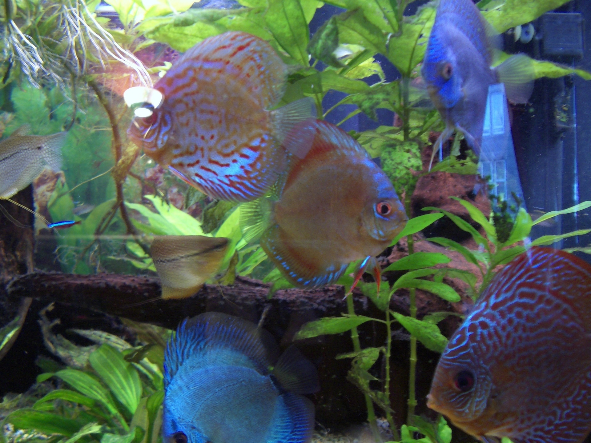 Sea life discus fish
