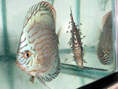 Discus 물고기