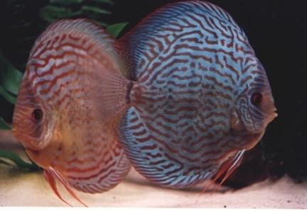 Discus рыба