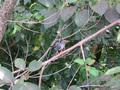 El Yunque Bird