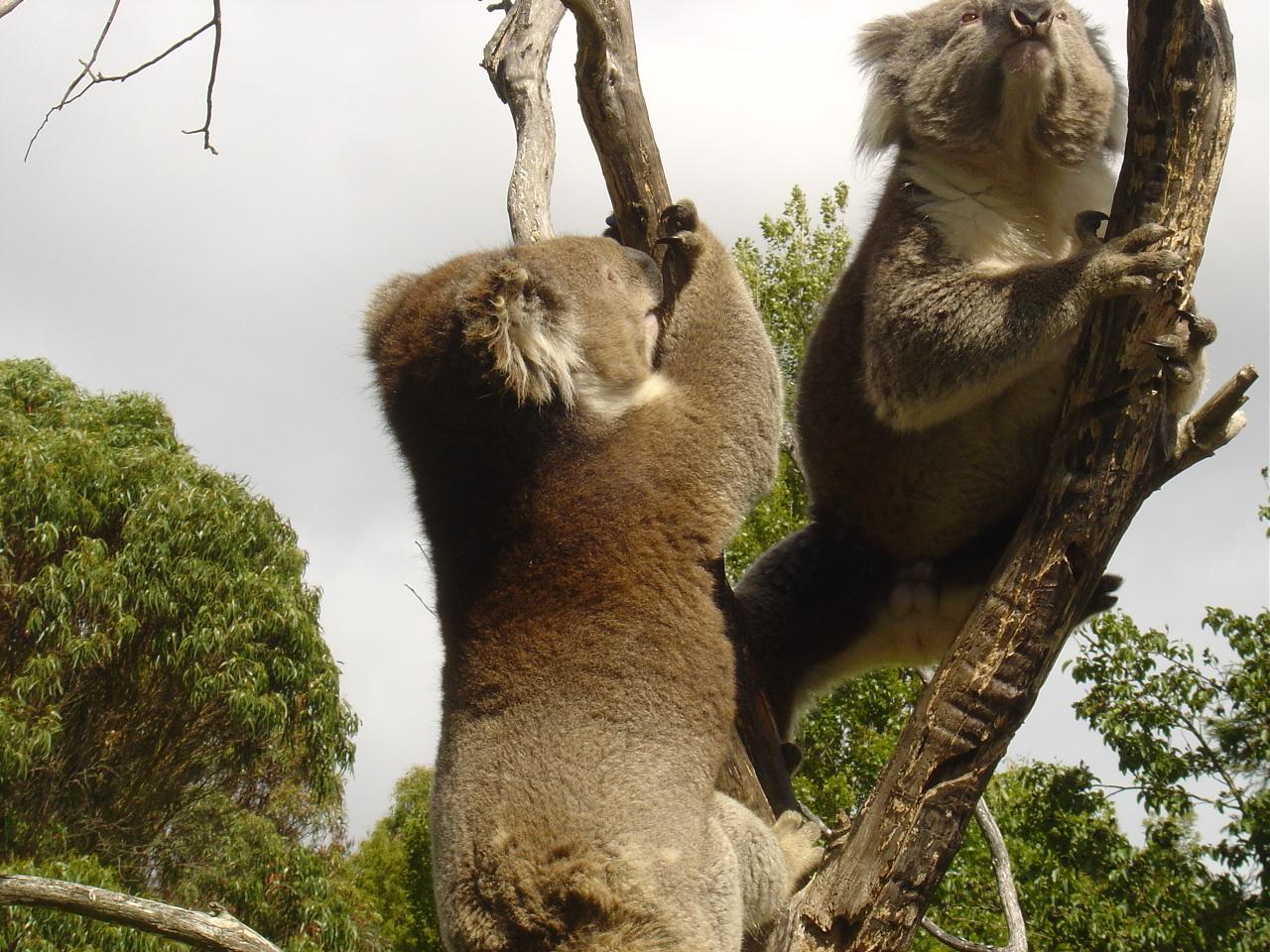 Fighting Koalas - Australia Wallpaper (103768) - Fanpop
