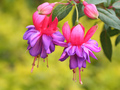 Fuchsia Magellanica - flowers photo
