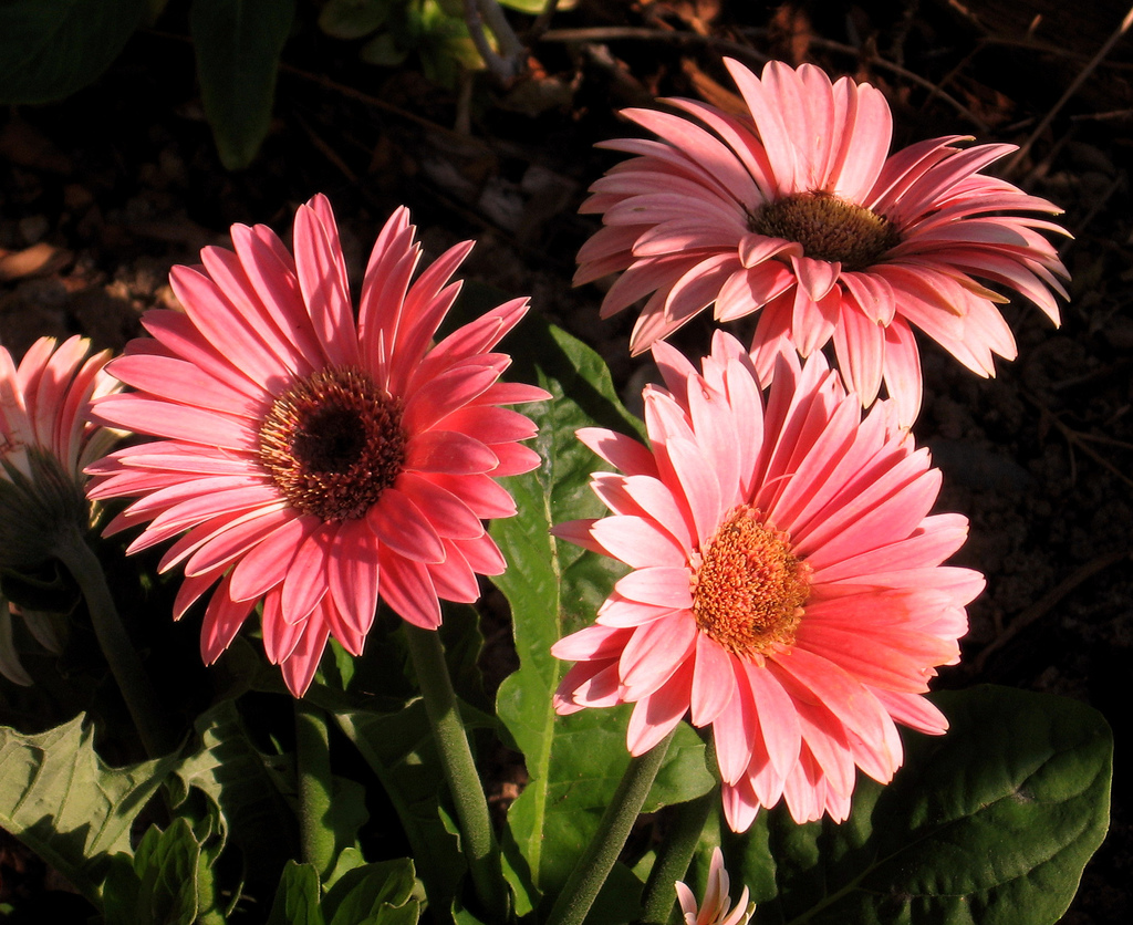 Flowers images Gerbera wallpaper photos