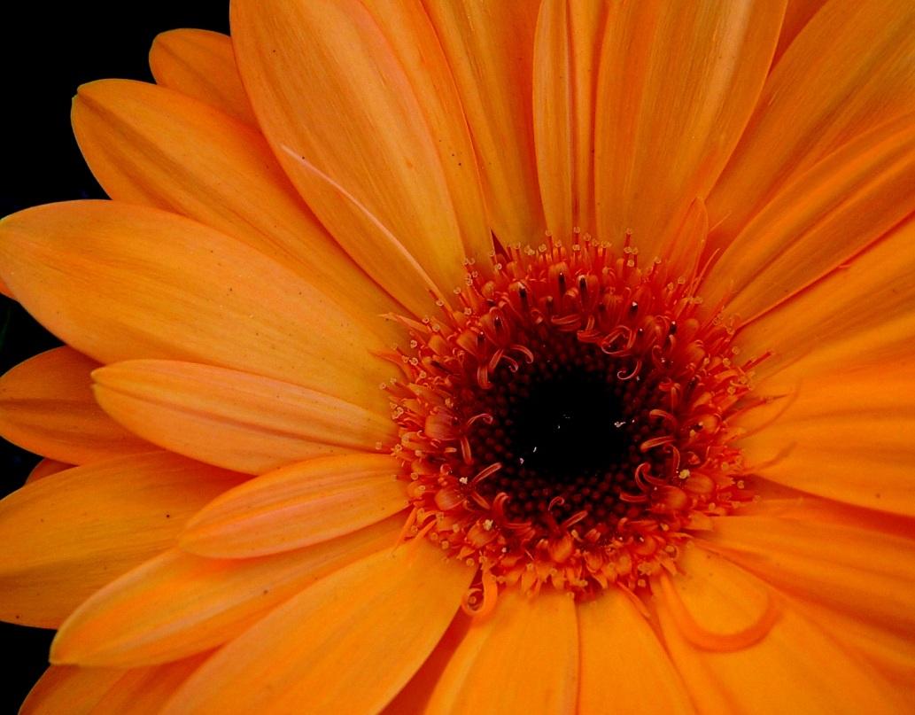 Gerbera Flowers Fanpop