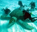 Giant turte - sea-life photo