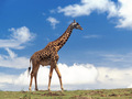 Giraffe - giraffes wallpaper