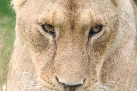 Givskud zoo (løvepark)