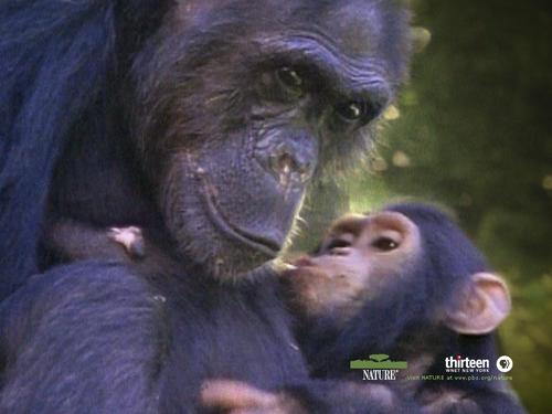 Goodall Chimpanzee پیپر وال