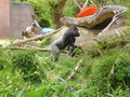 Gorilla - primates photo