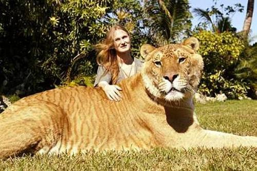 Hercules The Liger - urban-legends Photo