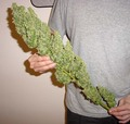 Huge Bud - marijuana photo