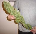 Huge Bud