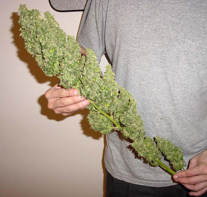 Og Kush Leaves Huge Marijuana Buds