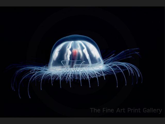 Jelly Fish - Sea Life Photo (112780) - Fanpop