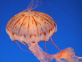 Jelly Fish - sea-life photo