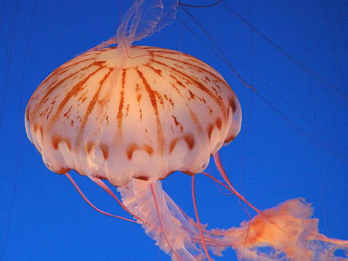 Sea Life wallpaper called Jelly Fish