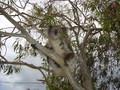 Koala Cafe