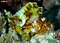 Leaf Scorpionfish - sea-life photo
