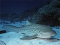 Leopard Sharks, Flying fish