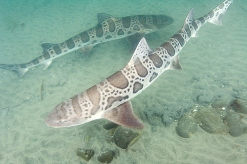 Leopard Sharks, Flying рыба
