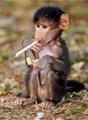 The famous stoner monkey