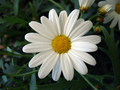 Marguerite bunga aster, daisy