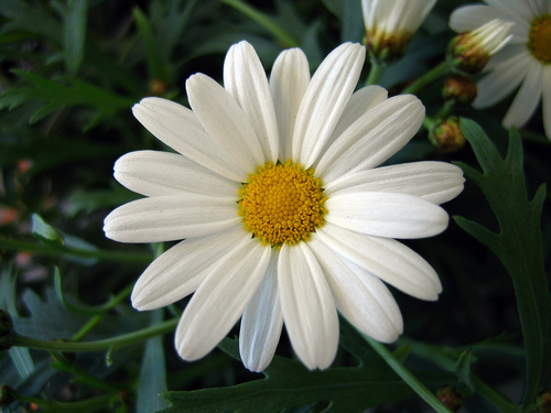 Flowers wallpaper titled Marguerite Daisy