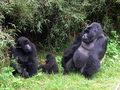 Mountain Gorilla Family - primates wallpaper