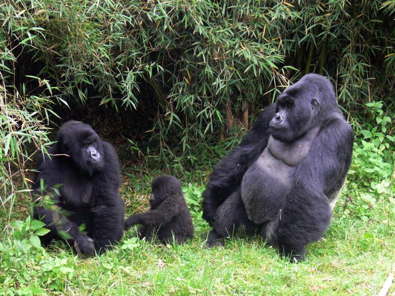 Mountain Gorilla Family - primates wallpaper