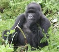 Mountain Gorilla Rwanda - primates photo