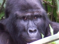 Mountain Gorilla - primates wallpaper