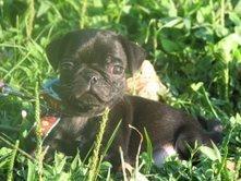 My pug puppy