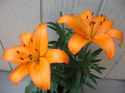 オレンジ Lilies