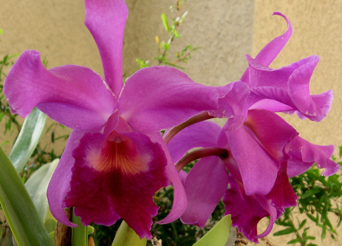Orchids - flowers Photo