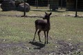 Otway _Ranges - deer photo