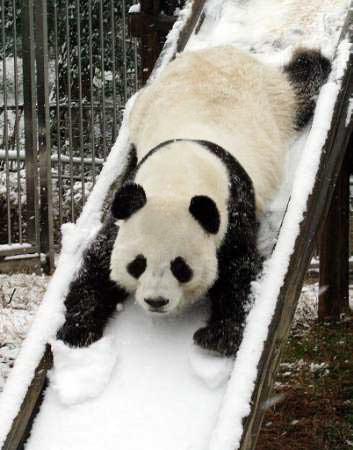 Pandas wallpaper called Panda Slide