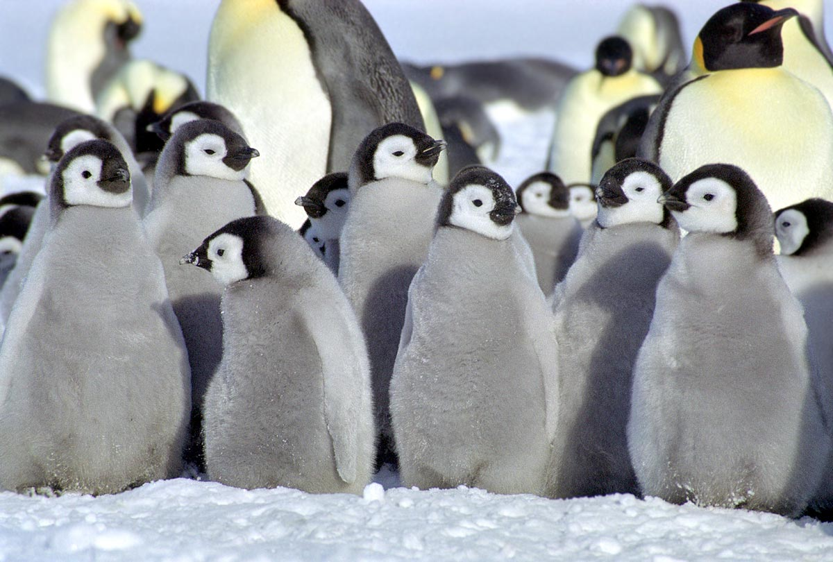 Images of real penguins
