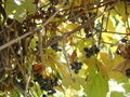 Pennsylvania Grapes