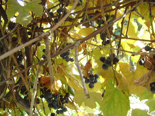 Pennsylvania Grapes - wine Photo