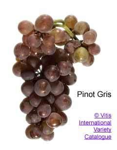 Wine karatasi la kupamba ukuta called Pinot Grigio