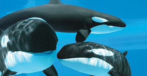 Pods of Orcas