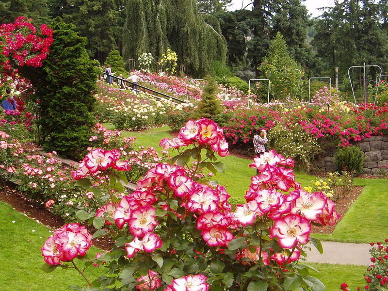 wallpaper rose garden. Portland Rose Garden