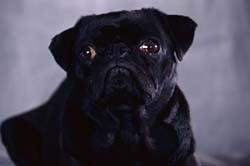 Pugs wallpaper titled Pug