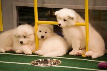 子犬 Bowl players