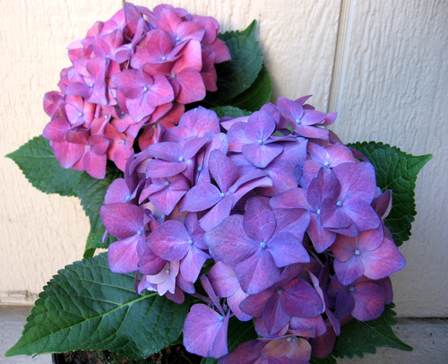Purple Hydrangea - flowers Photo