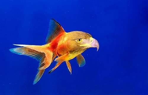 Parrot fish random photo 331970 fanpop for Nourriture poisson rouge voile de chine