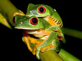 Red eyed pohon frog