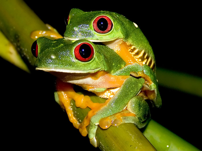 Red eyed дерево frog