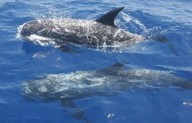 Risso's дельфин
