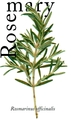Rosemary - herbs photo